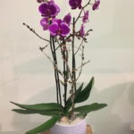 Orchidee-Rosa-Pink